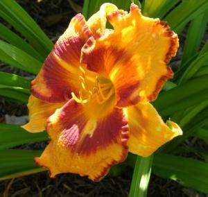 Hokie lily